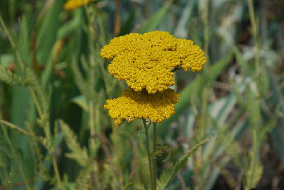 Achillea 'Moonshine' (Yarrow)