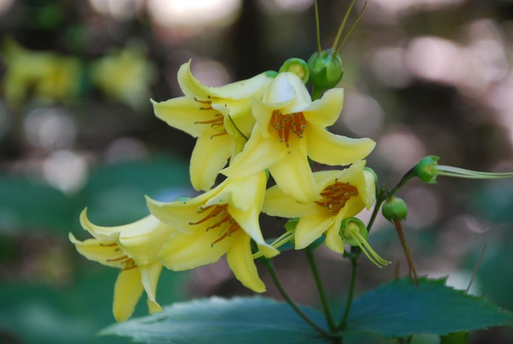 Yellow Waxbells - Kirengeshoma palmata Koreana Group
