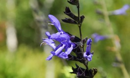 Black and Blue Salvia – Salvia guaranitica Black and Blue