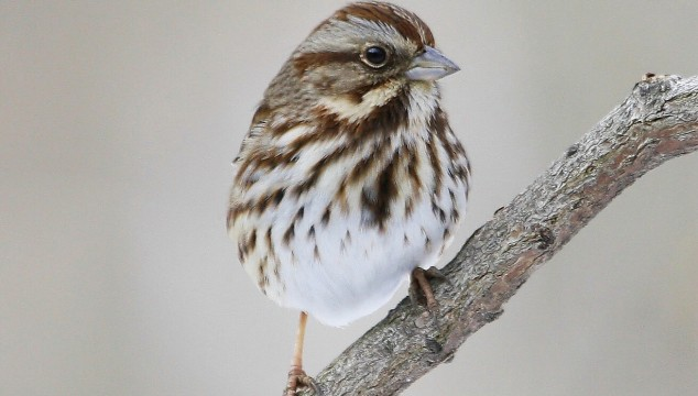 Stalwart song sparrows